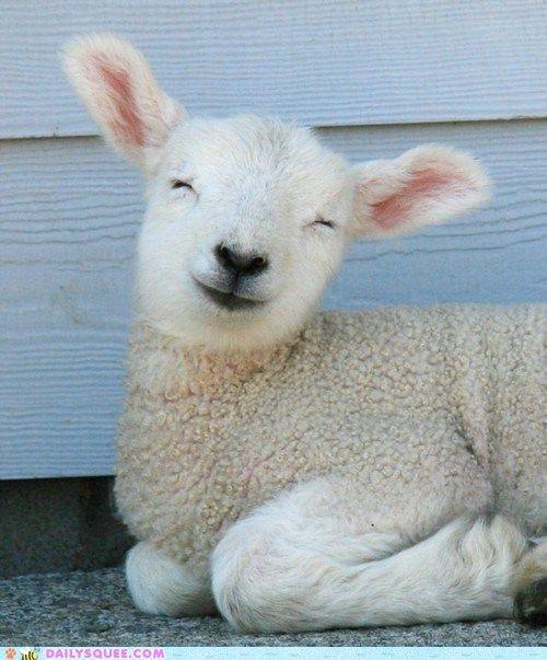 smiley-sheep